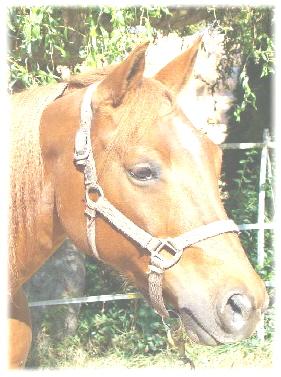 quarter horse verkaufspferde österreich